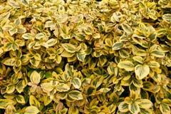 Загородка изгороди Куст Boxwood в предпосылке Малый завод лист стоковые фотографии rf