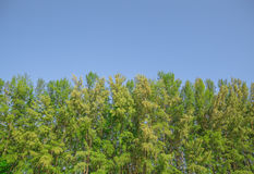 Загородка стены лесного дерева с голубым небом Стоковое фото RF