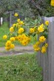 Загородка rudbeckia Буша Стоковое Фото