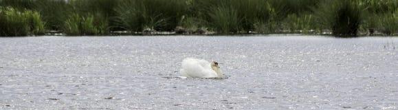 Заголовок лебедя Стоковые Изображения