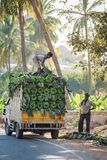 Загрузка групп зеленых бананов на малой тележке Стоковая Фотография