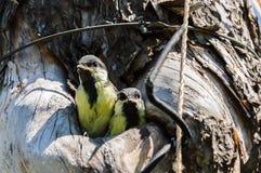 Загрязнение окружающей среды природы полости fledgeling птицы Стоковые Изображения