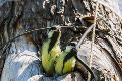 Загрязнение окружающей среды природы полости fledgeling птицы Стоковые Фотографии RF