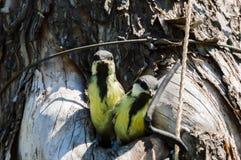 Загрязнение окружающей среды природы полости fledgeling птицы Стоковые Фото