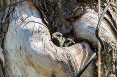 Загрязнение окружающей среды природы полости fledgeling птицы Стоковая Фотография RF