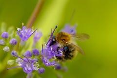 Загрязнять деталь пчелы Стоковое Фото