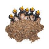 Заглотайте гнездо при птенецы изолированные на белой предпосылке Стоковое фото RF