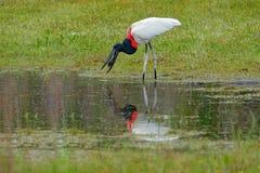 Задвижка аиста Jabiru рыбы в малом озере зеленой травы Живая природа Бразилия, птица в марше Jabiru, mycteria Jabiru, черно-белое Стоковая Фотография RF