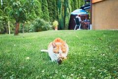 Задвижка кота имбиря птица Стоковые Фотографии RF