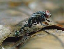 задвижка муравея Стоковая Фотография RF