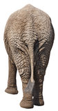 задий конца слона приклада задней стороны смешная изолированная Стоковая Фотография RF