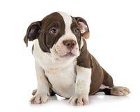 Задира щенка американский стоковое изображение