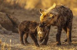 Задира Hyena Стоковая Фотография
