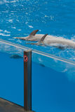 задние дельфины складывают заплывание вместе Стоковое Изображение