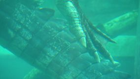 Задние коготь и кабель крокодила соленой воды акции видеоматериалы