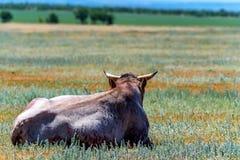 Задние остатки быка взгляда в поле Стоковые Изображения RF