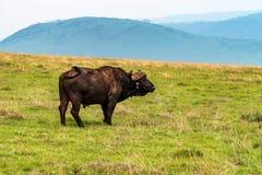 Задний взгляд африканского буйвола в саванне Стоковые Фото