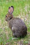Задний взгляд зайца snowshoe в траве Стоковые Фото