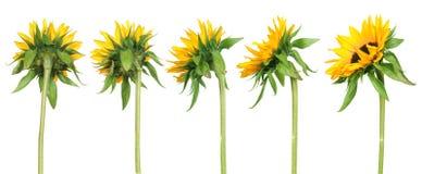 задний взгляд солнцецветов Стоковое Изображение RF