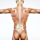 Задний взгляд человека и его пуска указывает Мышцы анатомии перевод 3d иллюстрация штока