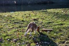 Задний взгляд щенка basenji 2 тонов смотря и стоя на площади пастбищ и лугов внутри meppen emsland Германия стоковая фотография rf