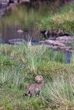 задний гепард идет река взглядов к Стоковая Фотография RF
