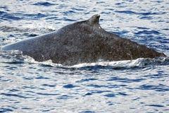 задний кит humpback Стоковое Изображение RF