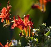 задний красный цвет кардинального цветка освещенный Стоковое Фото