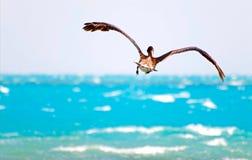 задний пеликан летания Стоковое Изображение