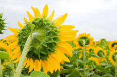 задний солнцецвет стороны цветения Стоковые Изображения