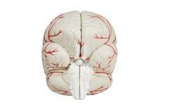 задним взгляд изолированный мозгом модельный Стоковое Изображение
