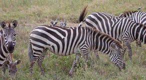 задняя зебра oxpeckers стоковое фото rf