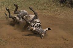 задняя лежа зебра Стоковое Изображение RF