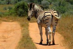 задняя смотря зебра Стоковые Фото