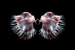 Задняя сторона белой и красной кроны замыкает воюя fishs Стоковые Изображения RF