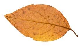 задняя сторона желтых лист осени дерева тополя Стоковая Фотография RF