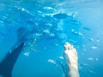 Задняя сторона китовой акулы Стоковые Фото