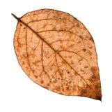 задняя сторона лист осени тухлых дерева тополя Стоковые Изображения RF