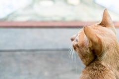 Задняя сторона оранжевого кота изолированная на расплывчатом поле стоковые изображения