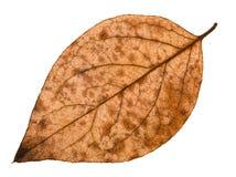 задняя сторона осени распала лист дерева тополя Стоковое Изображение RF