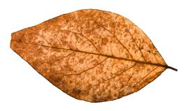 задняя сторона сломленных высушенных лист дерева тополя Стоковая Фотография RF
