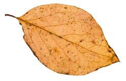 задняя сторона упаденных изолированных лист дерева тополя Стоковое Изображение