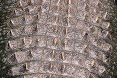 задняя часть американца аллигатора стоковая фотография