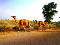 Задняя часть верблюдов conway идя к их полю стоковые изображения