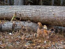 Задняя часть ` s курицы матери катания цыпленка младенца в поле стоковое фото rf