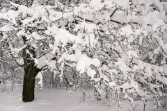 Задумчивое скучное утро зимы в ветвях снежного леса тонких молодых деревьев согнуто под обильным заволакиванием снега стоковые изображения rf