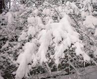 Задумчивое скучное утро зимы в ветвях снежного леса тонких молодых деревьев согнуто под обильным заволакиванием снега стоковые фотографии rf