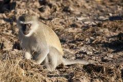 задумчивое vervet примата Стоковая Фотография