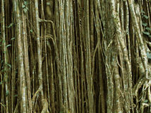 Задушите смокву Стоковые Фото