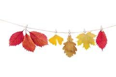 Зажимки для белья на веревочке держа листья осени на белом backgro Стоковая Фотография RF